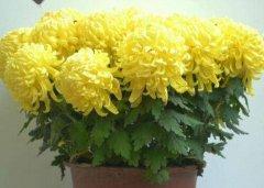 家庭盆栽菊花注意三大忌