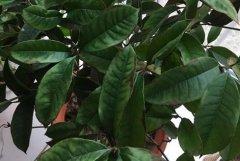 桂花树叶尖叶缘发黑原因及养护方法