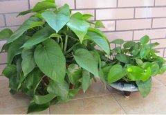 秋冬季室内绿萝的养护方法