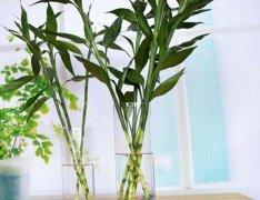 富贵竹水培扦插长得旺的养护方法