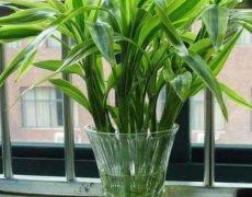 水培富贵竹换水方法:用什么水养比较好