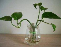 水培绿萝不生根的三大原因分析