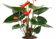 红掌一年四季开花养护方法